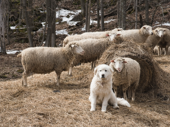 Sheepdog on duty
